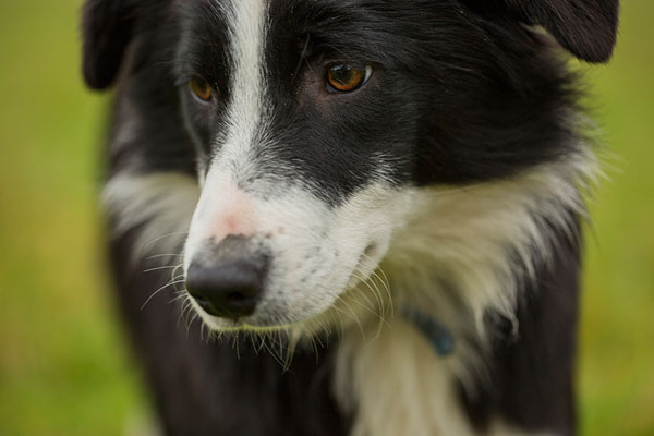 Glenalpine Charybdis is a black and white Kennel Club registered Border collie bitch