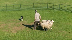 Training a young tri-colour border collie in a training ring with three sheep