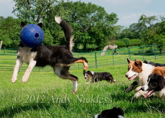 Border collies playing with a ball