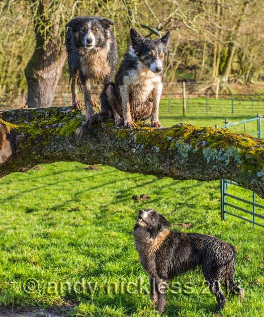 Muddy sheepdogs Carew and Kay sit on a fallen tree and are being watched from below by Meg