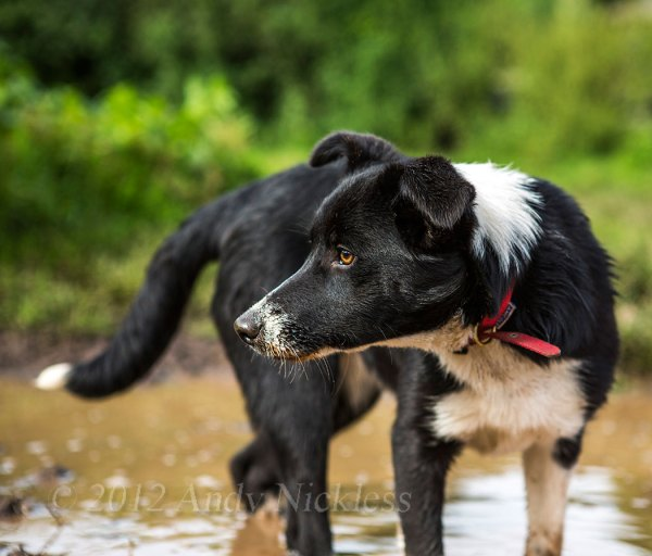 Smooth coated border collie sheepdog bitch standing in a pond