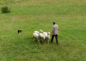 Training a sheepdog to slow down