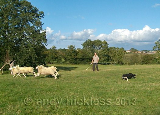 A trainee sheepdog chasing sheep