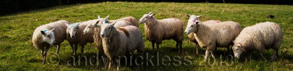Working sheepdog lying in the grass, close to the sheep