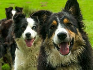 Sheepdogs Pearl and Maeve