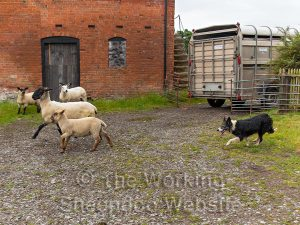 Sheepdog moves a stubborn sheep and its lamb