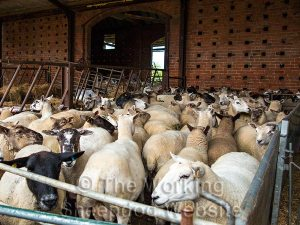 Sheep tightly packed in a pen for sorting