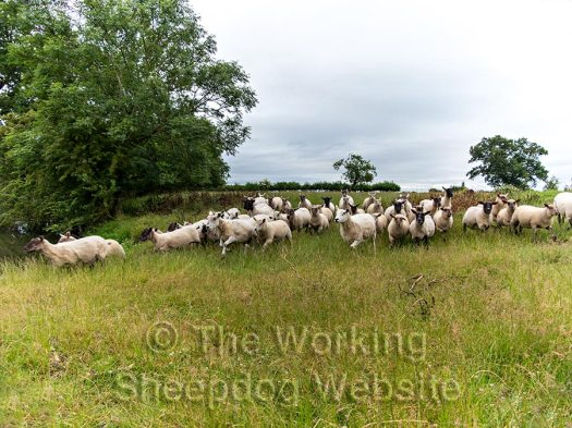 Sheepdog gathering a small flock of sheep