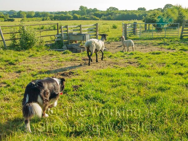 Carew guiding a ewe and her lamb towards a gateway