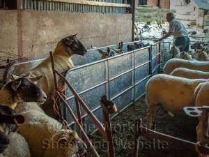 sheep being sorted with a race and gate