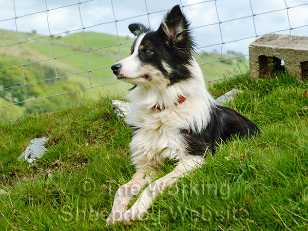Sheepdog Dot lying on a steep bank in North Wales