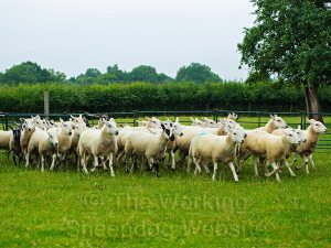 A small flock of forty sheep