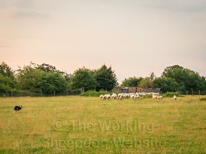 Sheepdog gathering a flock of sheep at dawn
