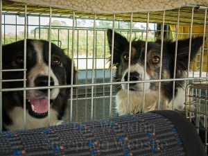 Sheepdogs Carew and Kay in the back of the car - Evesham Sheepdog Trials 2013