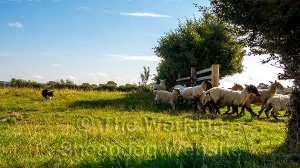 Sheepdog Carew drives a small bunch of sheep through a gateway in the early morning sun