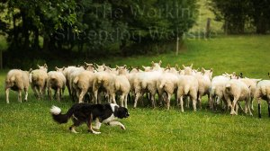 Sheepdog Carew driving sheep