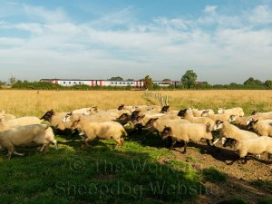 The sheep appear to be racing the train in the background