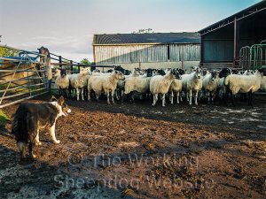 Kay waits patiently as the sheep move into the farm buildings