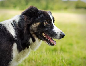 portrait of working border collie sheepdog carew