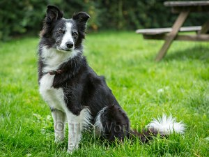Ageing, but fit and healthy, ten-year old agility dog Tia