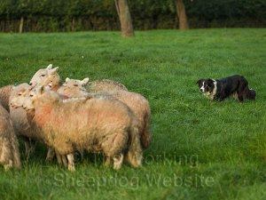 Sheepdog at close work with Welsh sheep