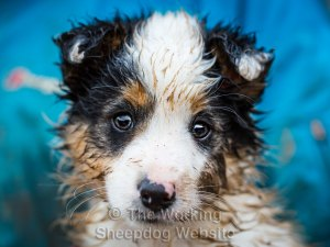 Border Collie Sheepdog Puppy - Jack (looking very cute)