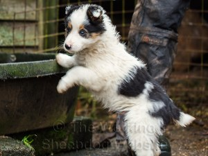 Border Collie Sheepdog puppy Jack pauses for a drink
