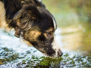 Closeup of a tricolour border collie sheepdog drinking from a pool