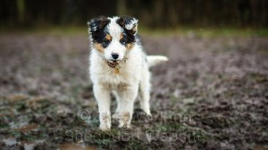 Young border collie puppy standing in a muddy patch of ground