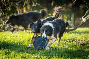Sheepdogs Meg and Pru playing with a dog disc