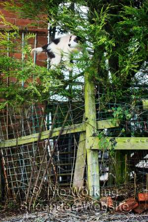 Border collie puppy Jack perched high in a hedge, balancing between the top of a fence and the branches of the hedge