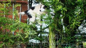 Sheepdog puppy Jack can climb fences with ease