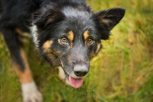 Close up portrait of a tricolour border collie sheepdog - Pru