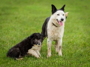 Young prick eared Border collie with small puppy