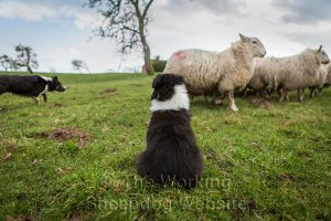 Border collie puppy looks on while the experienced sheepdog moves the sheep at a safe distance