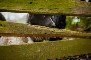 Close-up of a young border collie sheepdog looking between the rails of a wooden fence