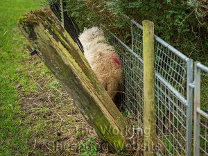 Rear view of the trapped sheep, showing how she found her way between fence and hedge