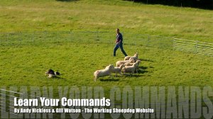 Cover pic for sheepdog training tutorial - Learn Your Commands.