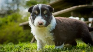 Tricolour border collie female pup