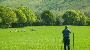 A sheep misses the drive gates at a Shropshire Sheepdog Trial