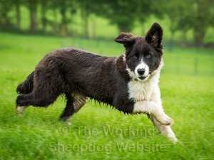 Black and white Border collie pup, at speed