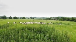 Two commuter trains pass close to gathering sheep in a field