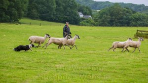 Sheep running out of a shedding ring because the dog's too close