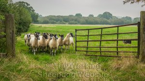Sheepdog Kay brings a group of thirteen sheep through an open gateway.