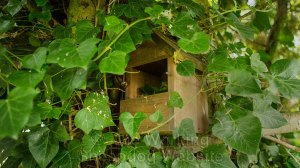 Location picture of the nest box in situ amongst ivy