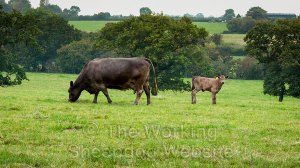 a dark brown cow grazes in a field with its young calf nearby.