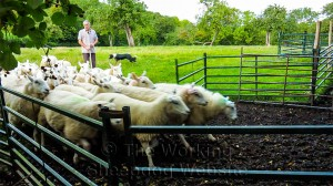 sheepdog Eve brings a small flock of sheep into a pen