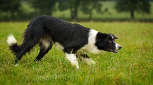 Close-up of trainee sheepdog Eve