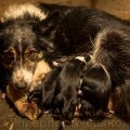 Sheepdog Kay looks anxious as she guards her pups