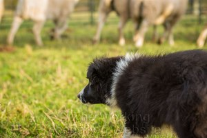 Border collie puppy with sheep